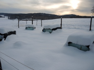 Winter yard. Singles in the front with 1 pack of doubles in the background.