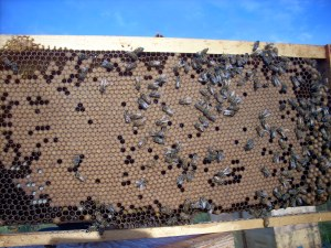 Good brood pattern and never treated, ideal when choosing breeder genetics.